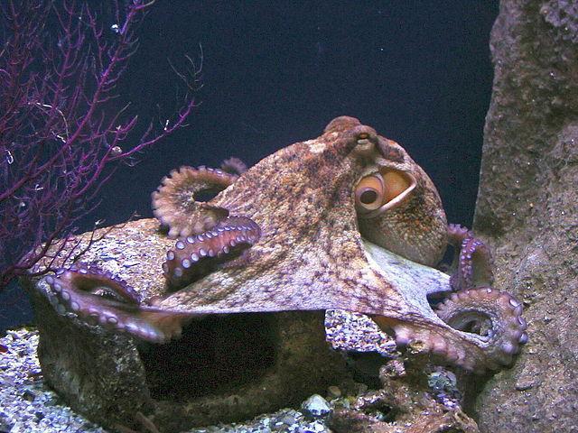 Любовь с тентаклями у осьминогов и по почте у саламандр